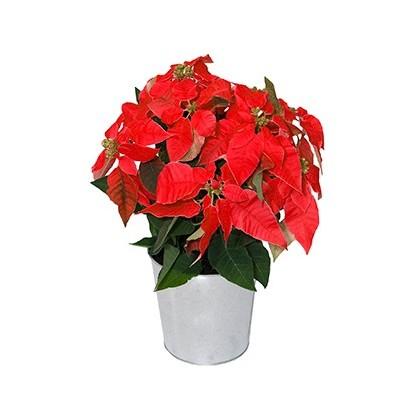 Poinsettia Fleurs de Noël