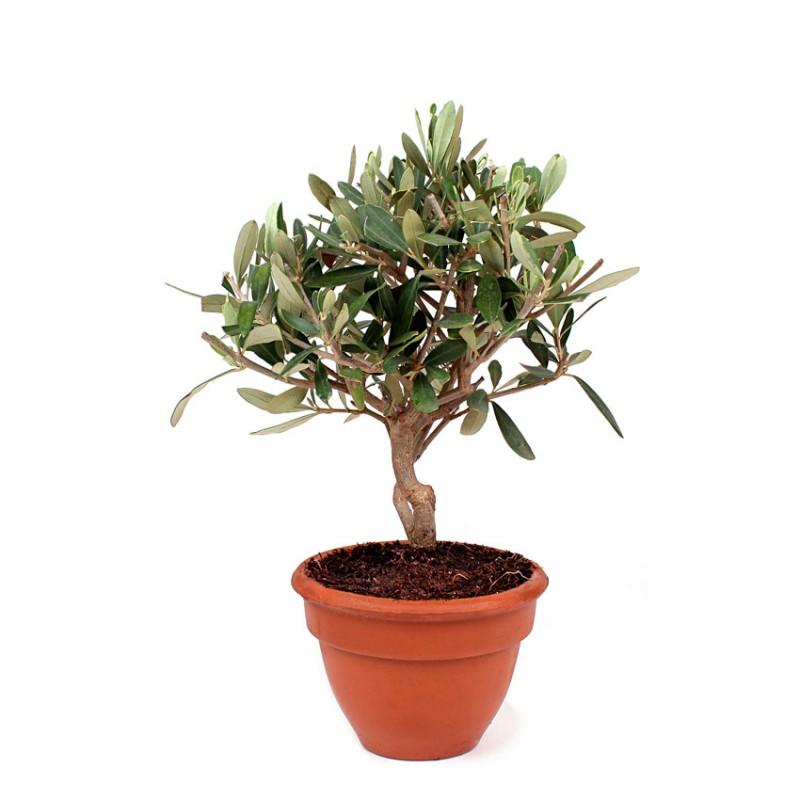 Olivier en pot livraison fleurs et cadeaux d 39 lys couleurs - Arrosage olivier en pot ...