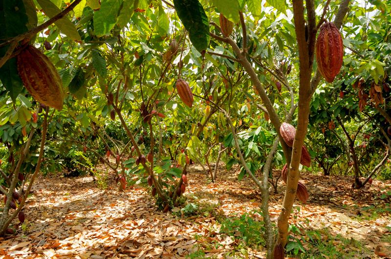 comment faire une plantation de cacao pdf